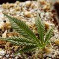 Marijuana Edibles Flourising In The Food Industry